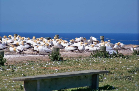 Cape Kidnappers Gannet Tour ex Hastings (i-Site)